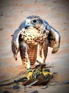 Saker Falcon, Samira (M)