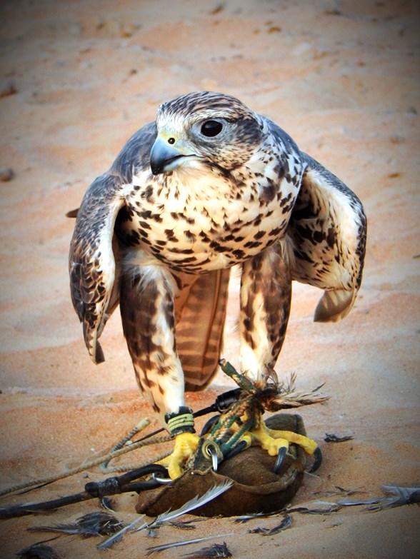 Saker Falcon, Jazeera (F)