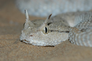 Arabian Horned Viper (Source: www.hereptofauna.co.uk)