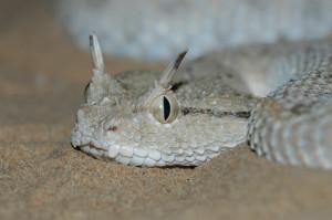 Arabian Horned Viper (Source: www.hereptofauna.co.uk)