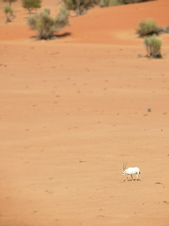 Lone Oryx
