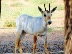 This young oryx is maturing and losing its camouflage gold in favour of survival white.