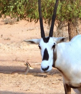 The distinctive markings of the Arabian Oryx (with bonus Sand Gazelle in b/g)