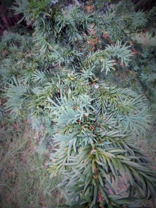 Deadly yew leaves