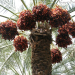 Date palm laden with dates - staple diet for the Oryx