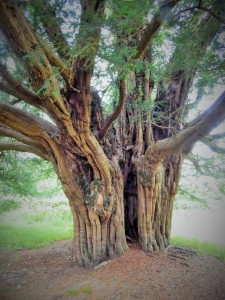 One of multiple aged yews circling the Church of St Melangell